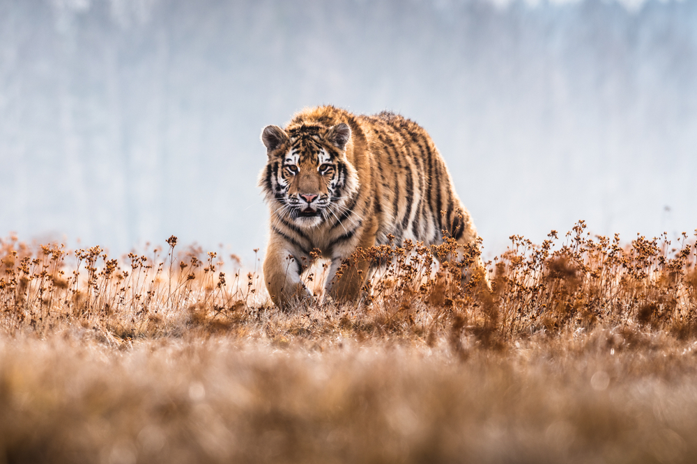tigers hunting and independent