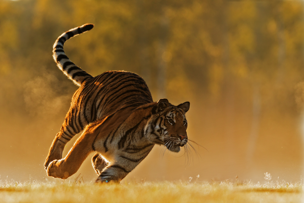facts about tigers - largest cats