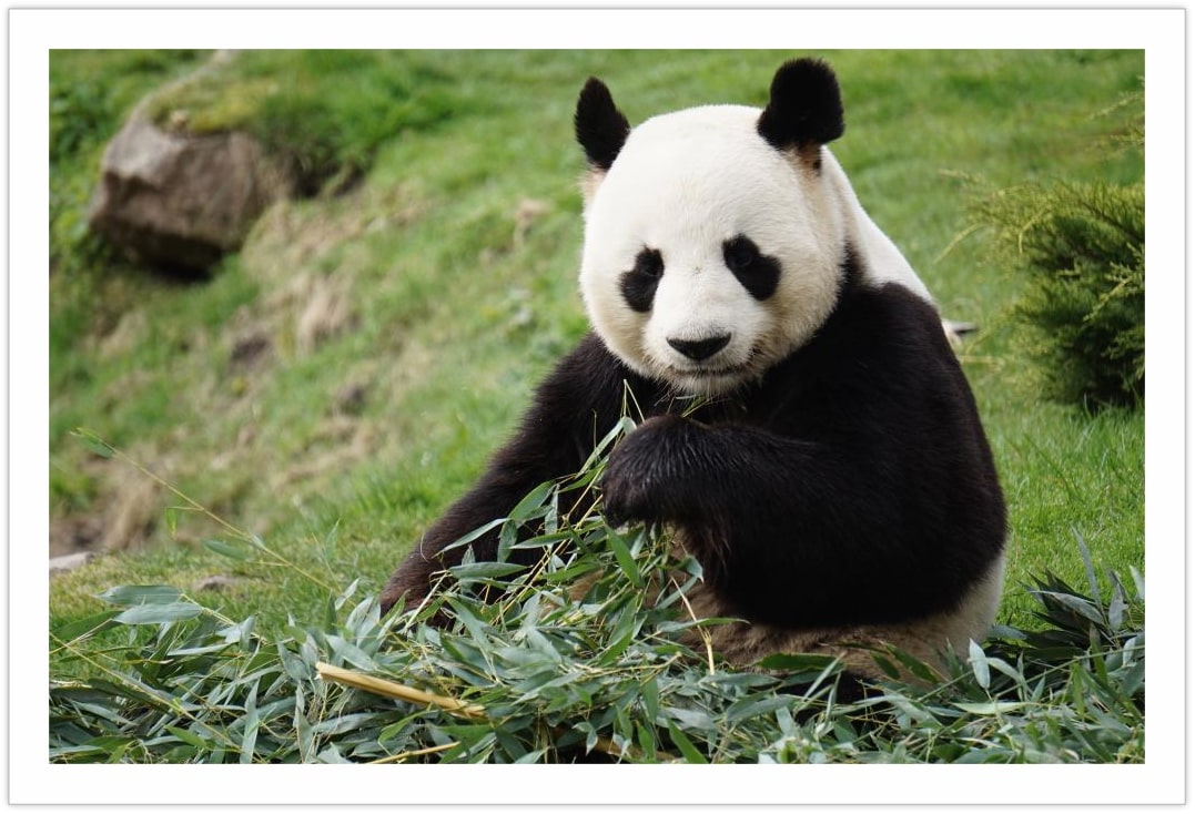 My Bamboo Is My Bamboo - Cute Panda Pictures