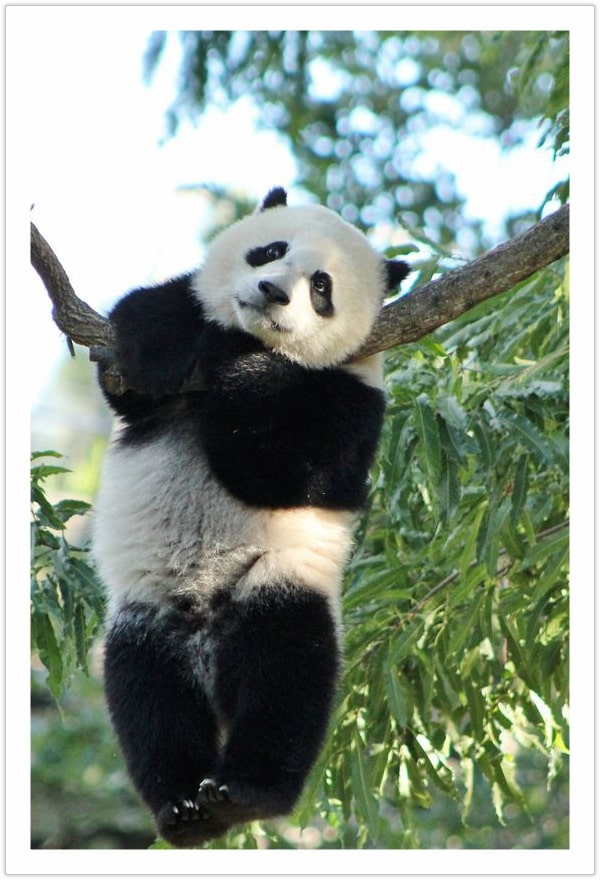 Nice place to contemplate - Cute Panda Pictures