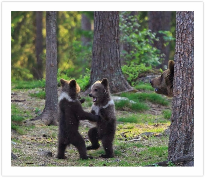 Ring-a-Ring of poses - bears in the wilderness