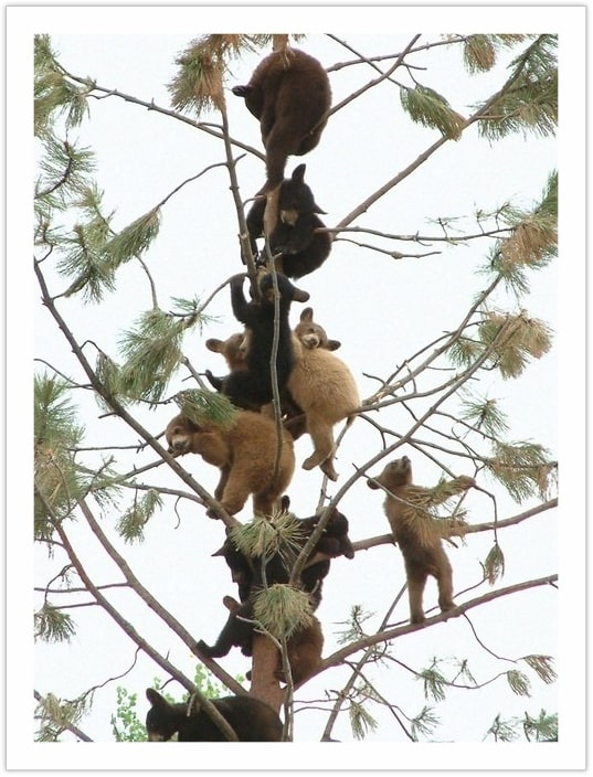 The Bear Tree - bears in the wilderness
