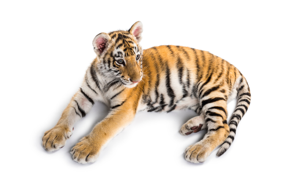 tiger stripes facts