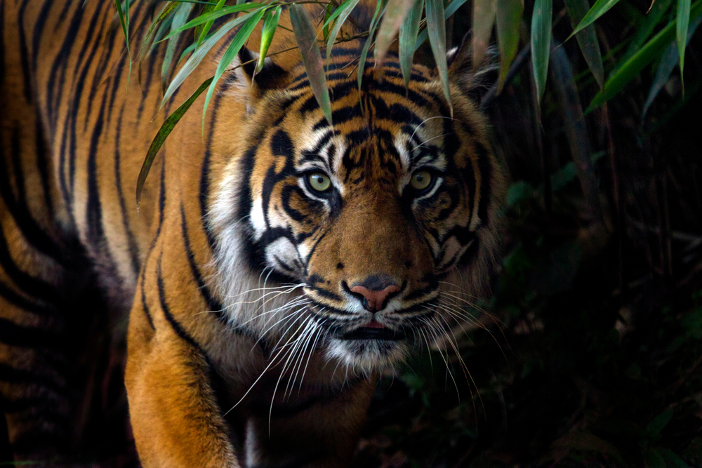 Tigers are Nocturnal - facts about tigers