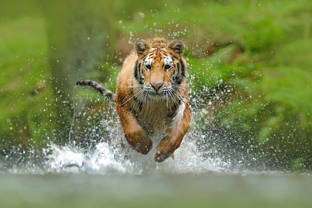 Tigers are super swimmers