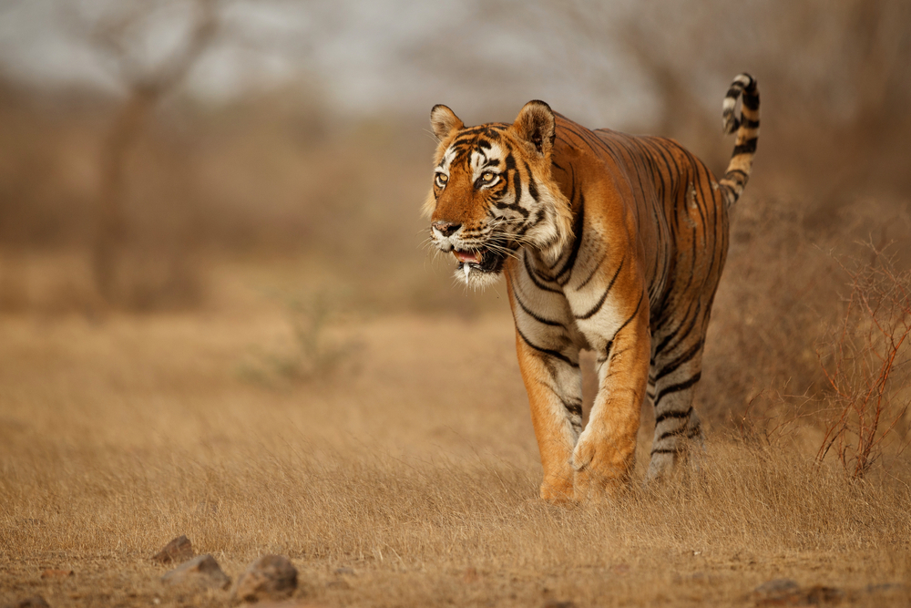 truth about tigers - tigers prey