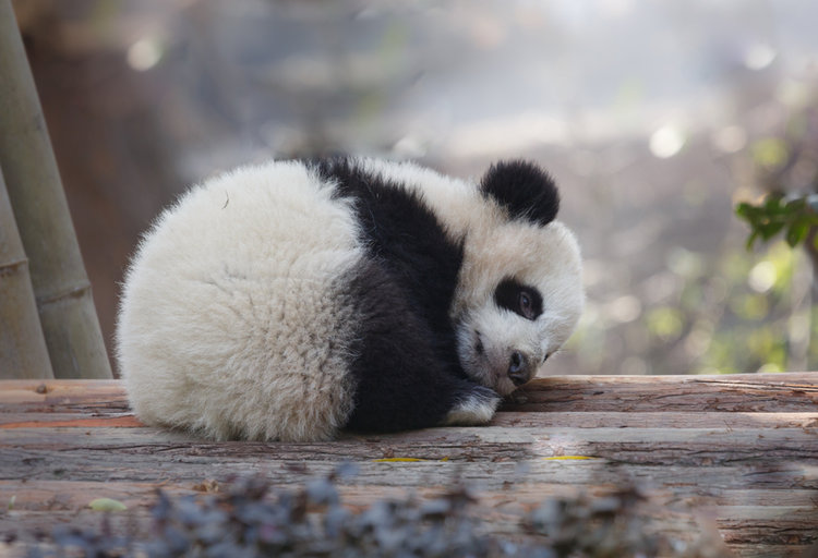 10 facts about pandas on their fur