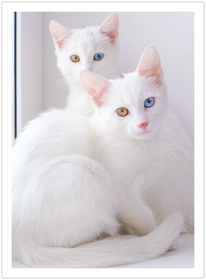 Absolutely Identical - Beautiful cat pictures