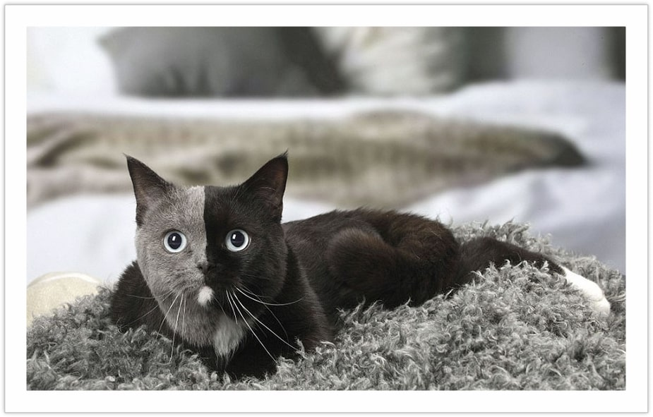 Rare Beauty - Beautiful cat pictures