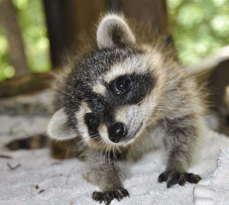 baby raccoon groups are called kits - raccoon facts for kids