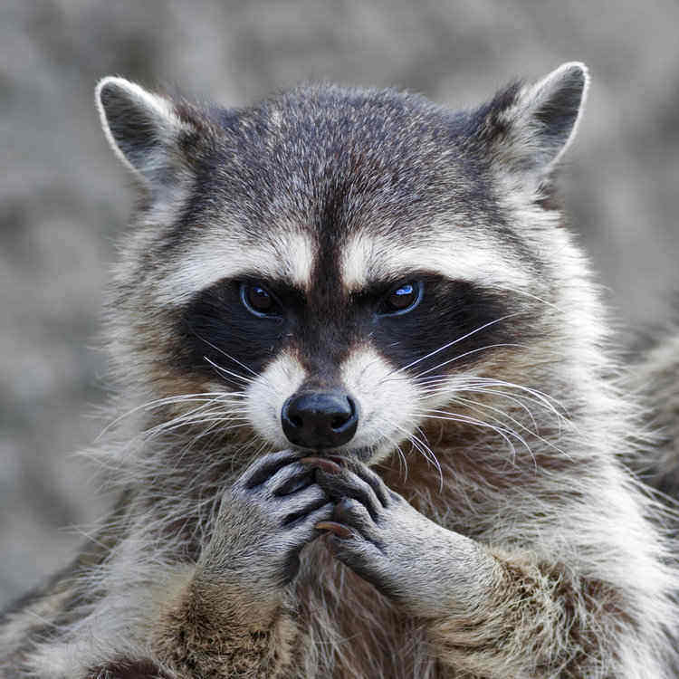 important raccoon paws - raccoon facts for kids