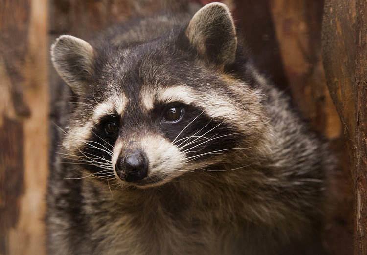 noisy much - raccoons as pets