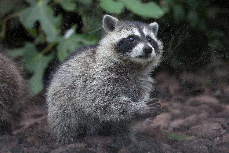 omnivorous raccoons are not picky eaters