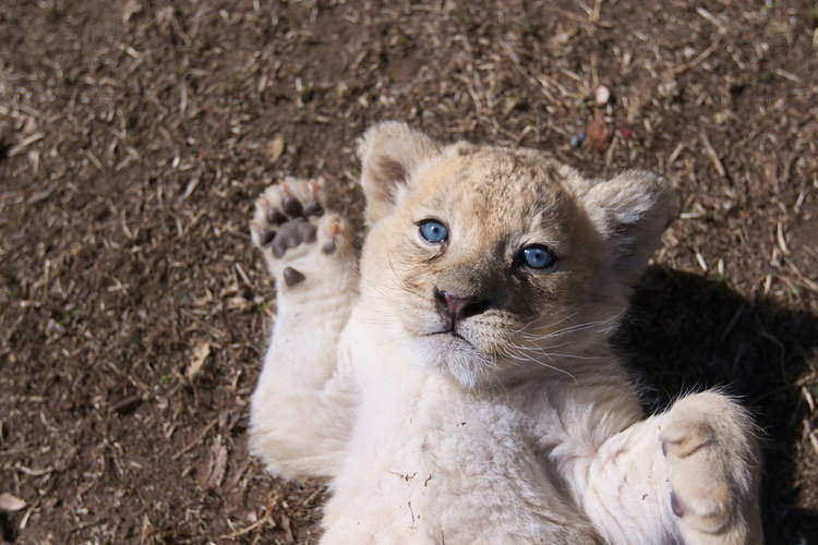 Blue-eyed cubs are mesmerizing