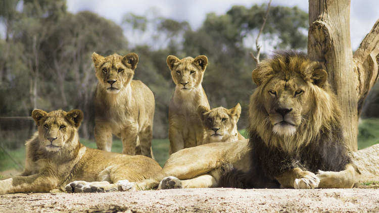 I am the man of the house - Facts About Lions