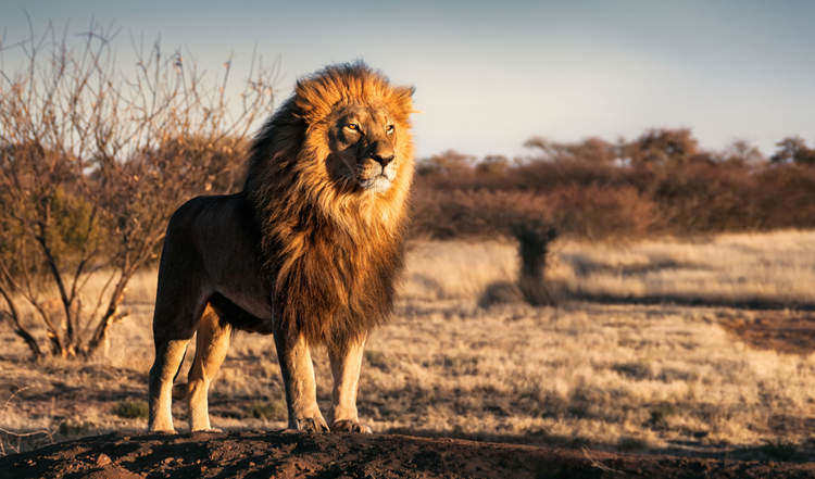 King, but not of the jungle - Facts About Lions