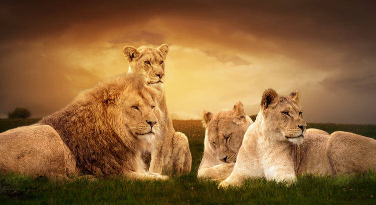 Together, we are strong and safe - Facts About Lions